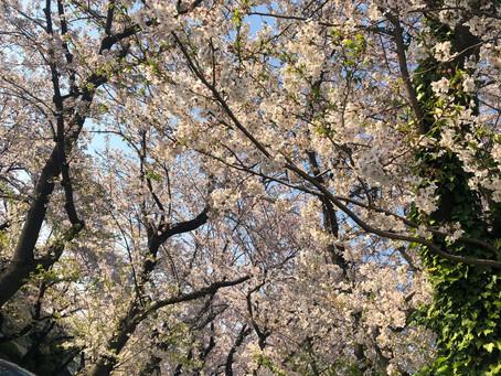 桜の頃の日本らしい、和スイーツ