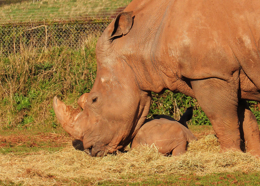 African white rhino with her young