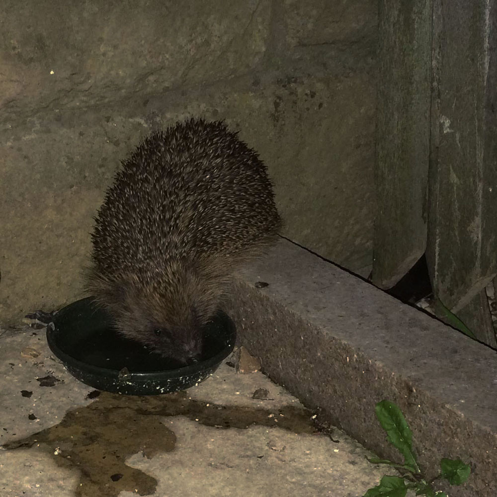 Hedgehog having a drink