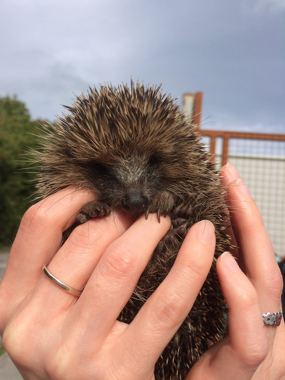 A hoglet found out in the day