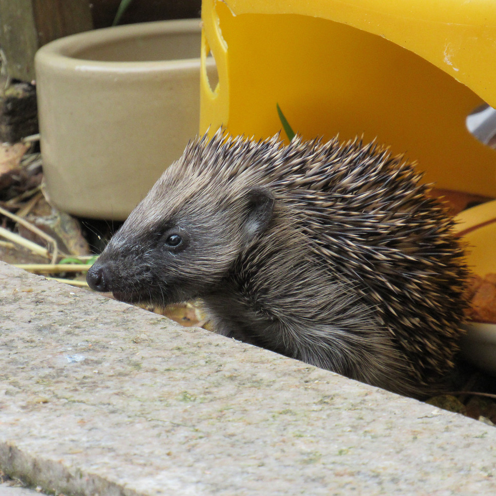 One of our hoglets exploring outside the nest