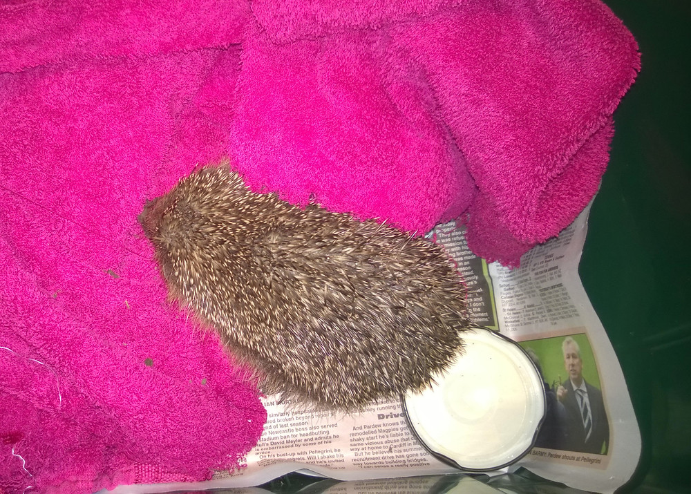 A rescue hedgehog waiting to be taken to the carer
