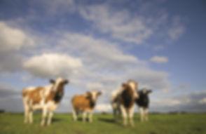 de-koeien.jpg