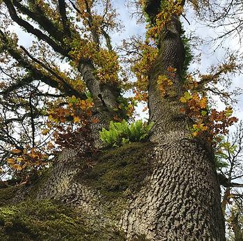 Oak Habitat