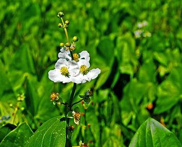 Sagittaria latifolia-Hathaway-7-250806.j
