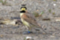 Streaked-Horned-Lark_David-Maloney_USFWS