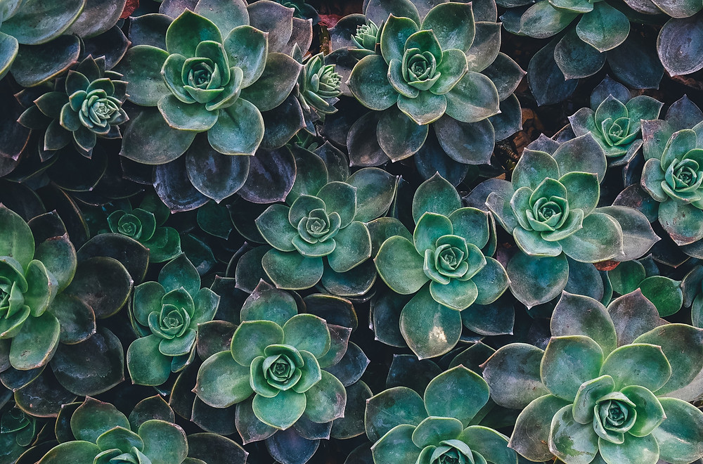 Sedum Palmeri - Plante d'hiver