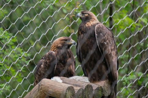 Golden Eagles