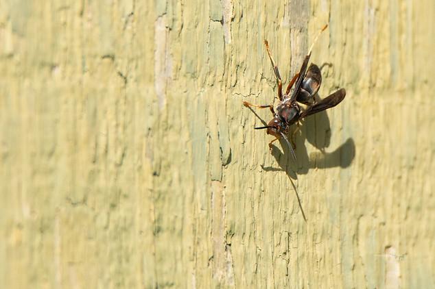 Wasp - Michigan