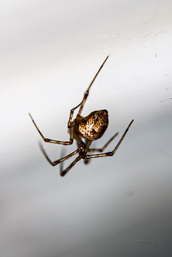 American House Spider - Michigan