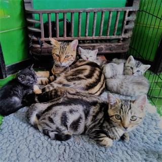 Bagheera Kitten's