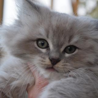 Blue Lynx Mink Miradoll
