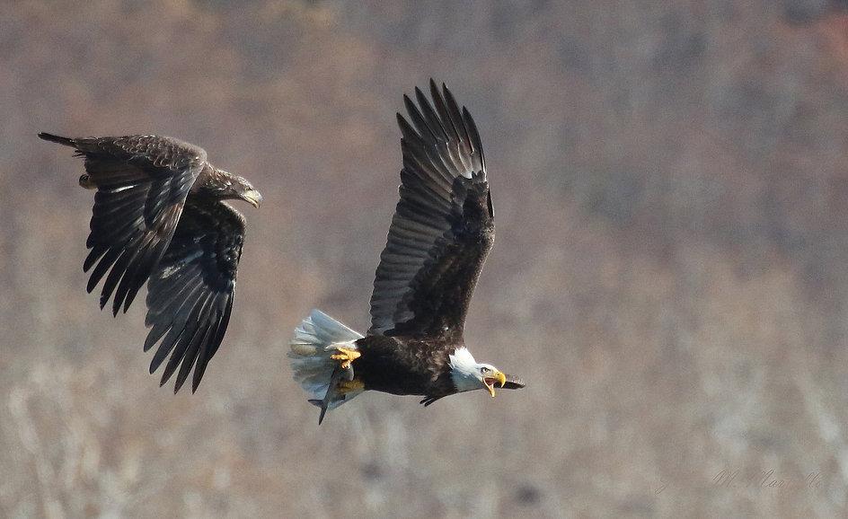 eagle chase.jpg