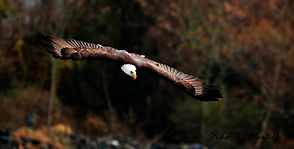 eagle flight.jpg