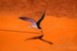 orange sky skimmer.jpg
