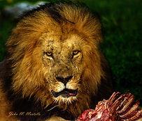 641A7484 lion portrait crop4 lt dk merg