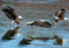 eagles composite.jpg