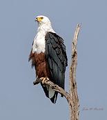 African Eagle Crop.jpg