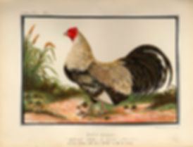 ILLUSTRATED BOOK OF POULTRY, LEWIS WRIGHT