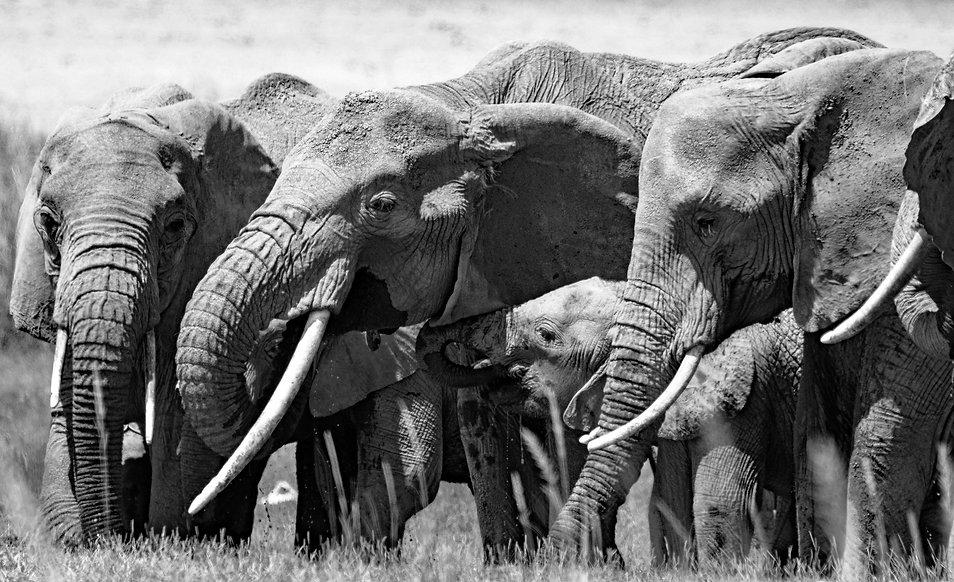 elephants BW.jpg