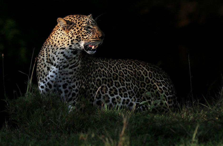 leopard dark.jpg