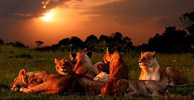lions at sunset.jpg