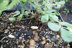 Vertical farming peanuts