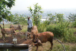 Cow farming above the city