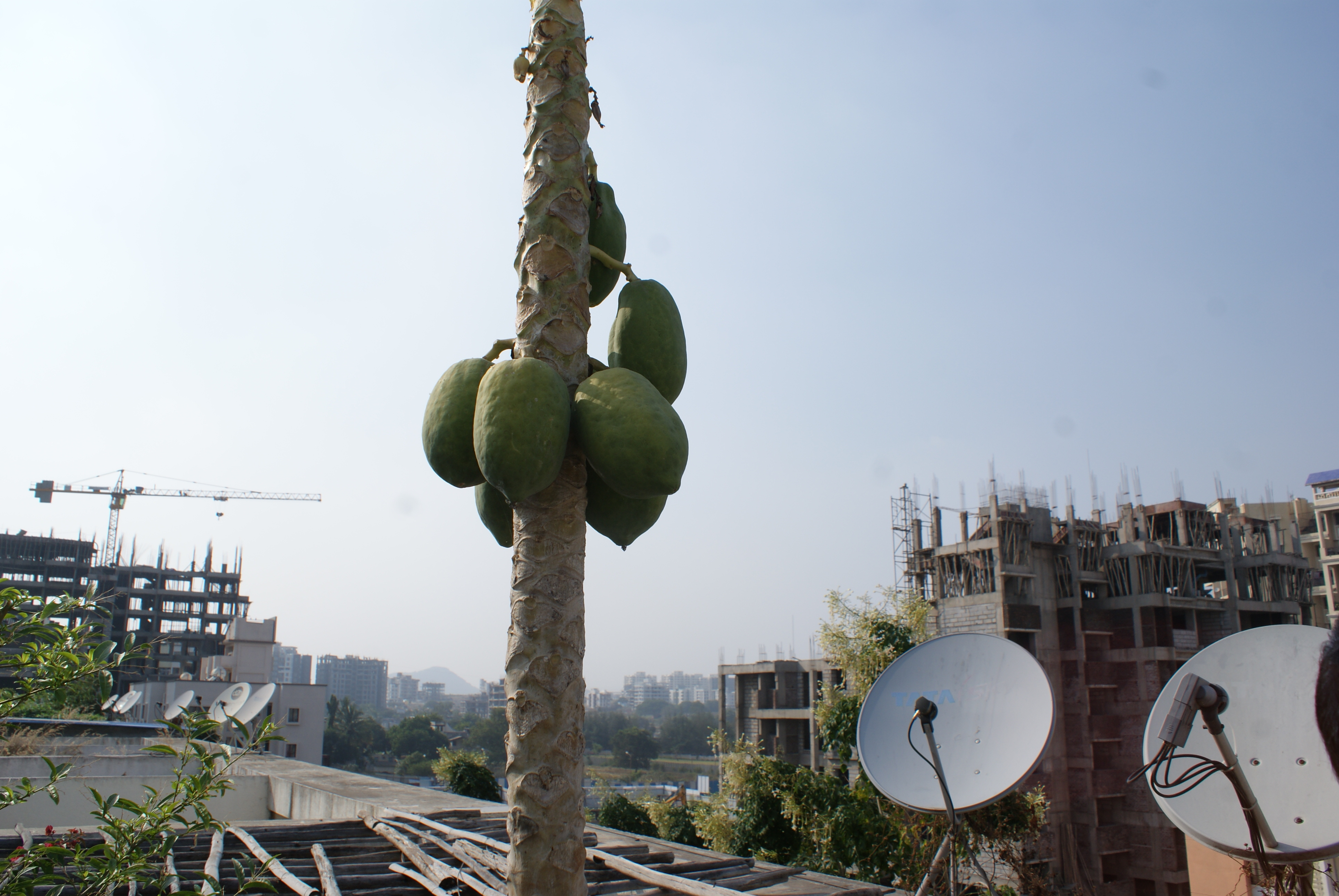 Papayas above the rooftops