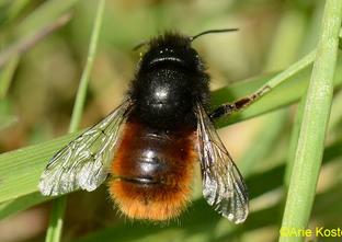 European orchard bee