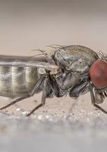 Parasitic fly Cacoxenus indagator