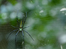 Giant Golden Orb Spider