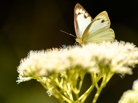 Butterfly Pollination