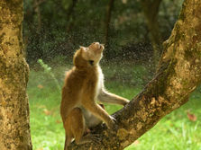 Monkey getting dry after rain