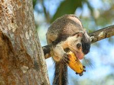 Squirrel eating a Banana