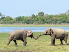 Elephants greet