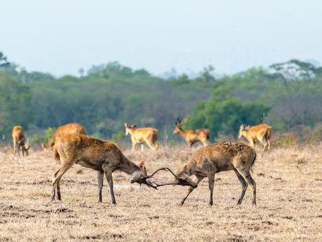 Deer clash