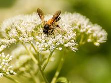 Bee Pollination