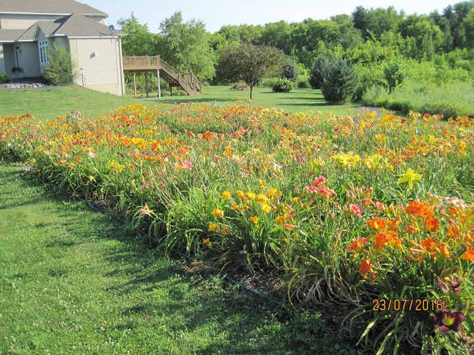 Main daylily bed at Uncanoonuc Daylilies located in Prior Lake, MN.  We sell daylily seeds.