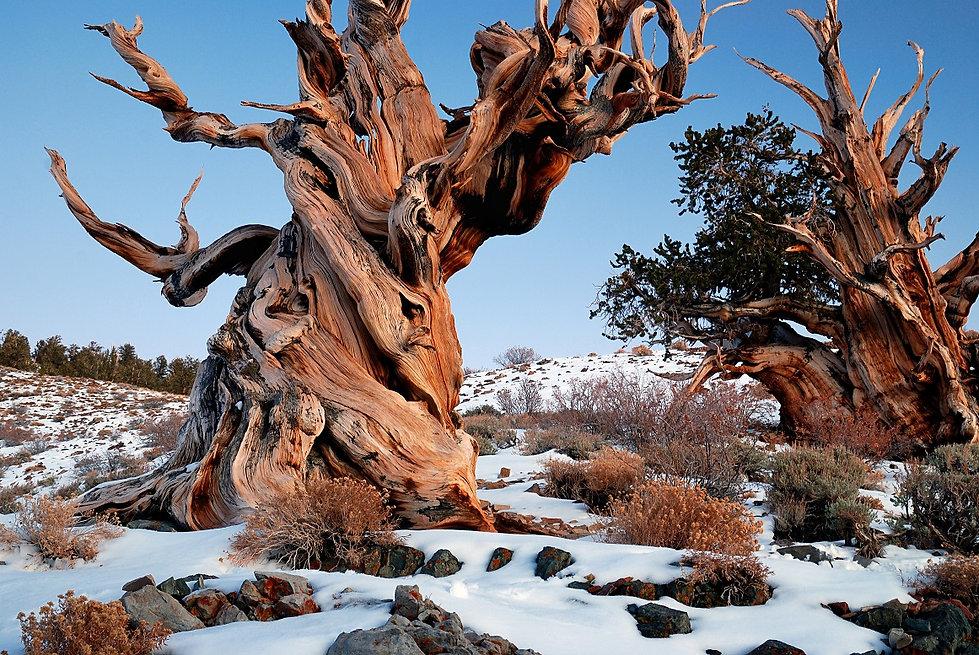 Methuselah Tree Sustainable Woods.jpg