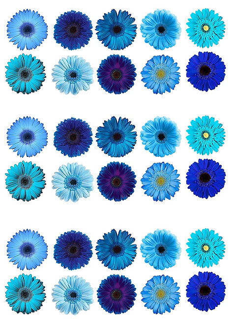 30 Blue Gerbera Flower Toppers Edible Thin Wafer Paper