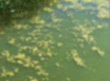 Algal Bloom on Savery Pond
