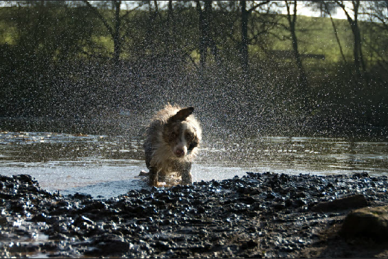 wet border collie