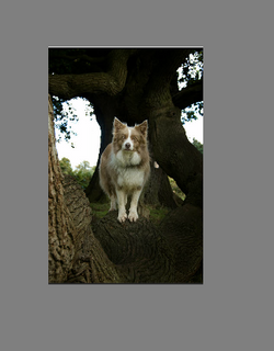 Collie In Tree2
