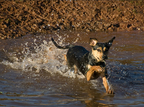 dog in river