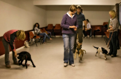 class training lots of dogs