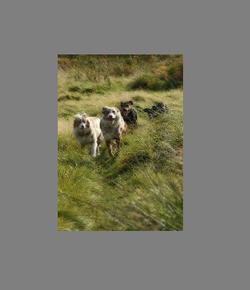 dogs in field2