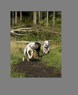 Dogs playing2