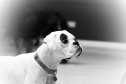 boxer 6