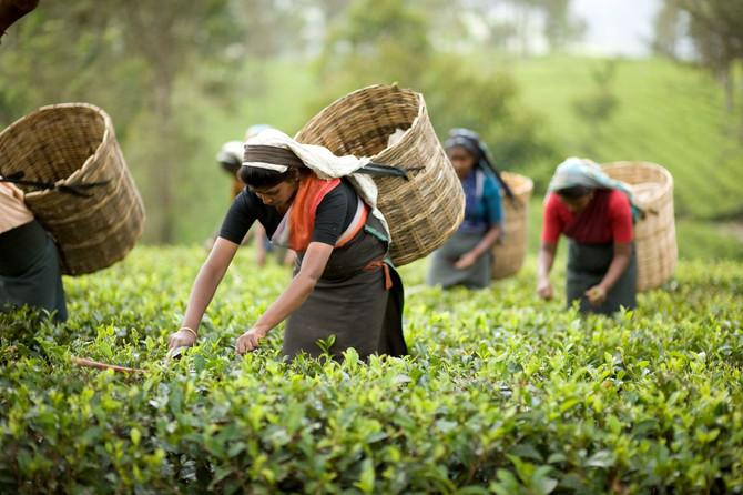 Чайные традиции Индии